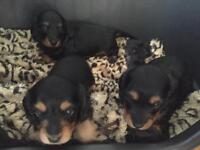 KC reg long haired miniature dachshund puppies for sale
