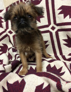 Brussels Griffon female puppies