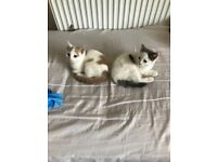 Lovely male kittens ready to be rehomed