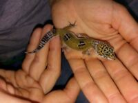 Baby leopard geckos for sale
