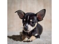 ​ Pedigree Chihuahua Smooth Coat Puppies