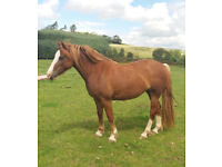 *SOLD* *Horse For Sale* Welsh Section D Mare *VIDEO* *FOR SALE*