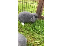 Blue lop baby rabbits