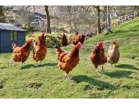 10 chickens good laying hens free to good home