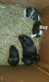 guinea pigs 8weeks old