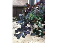 Royal purple (smoke tree)
