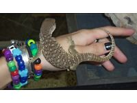 12 week old bosc monitor for sale with full setup