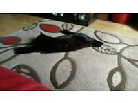 Black Cat Missing Portadown- Tandragee Road
