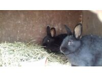 Crossbreed rabbits
