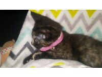 12 week old kitten for sale