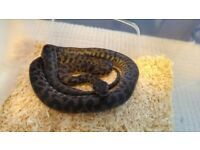 10 x CB16 Spotted Pythons £50 each