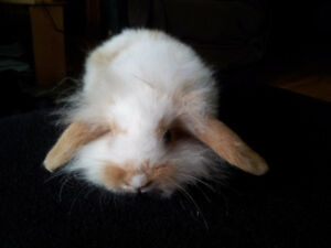 Mini Lionhead Lops for Sale