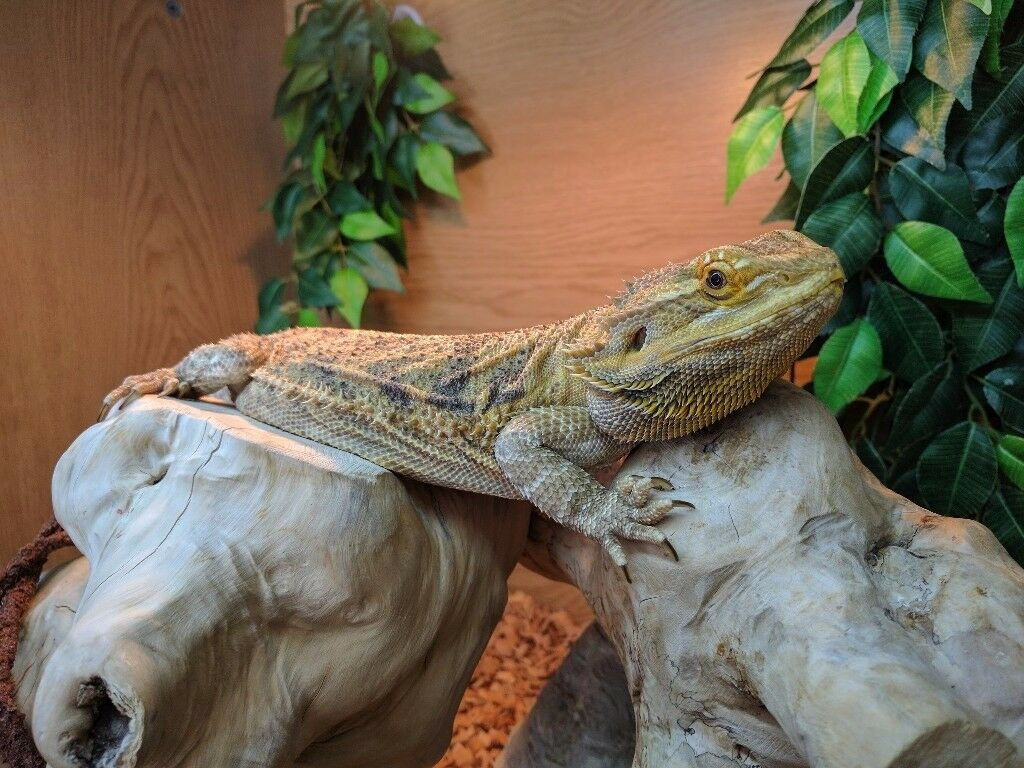 4 Year Old Bearded Dragon with Full Setup and Extras