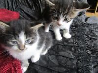 2 female and 1 male kitten