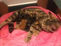 Stunning litter of Kittens