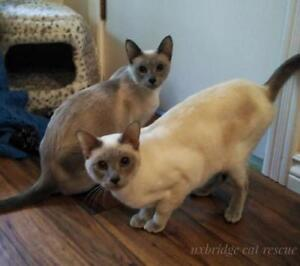 "Adult Female Cat - Siamese: ""Chang and Mai"""
