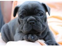 Stunning Blue French Bulldog Puppy (9 weeks old)