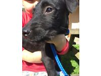 Patterdale Terrier Dog Pup