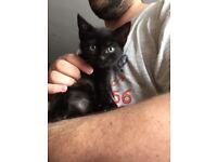 Kitten housetrained litter trained weaned friendly 8 weeks