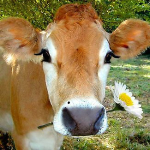 YOUNG JERSEY HEIFERS WANTED!!!
