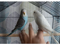 A Beautiful Pair of Baby Budgies & Brand New Cage (Full Set Up)