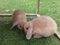 Baby dwarf lop rabbits