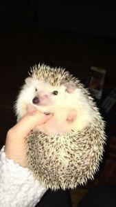 2 year old female hedgehog