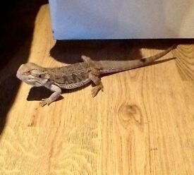 Bearded dragon for sale!