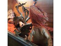 Beautiful Red Female Bearded Dragon needing re-homed