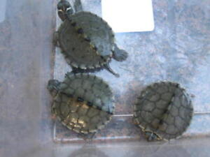 Map Turtle Hatchlings