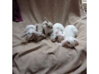 Beautiful pure mini lop bunnies