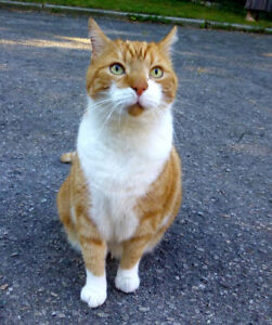 Found Male Cat - Large Orange and White Shorthair