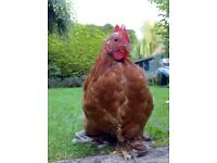 wonderful & handsome Millefleur Pekin Bantam cockerel