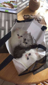 Ragdoll Persian Kittens for Sale - extra fluffy