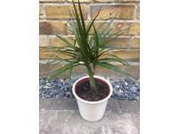 DRACAENA MARGINATA Small house plant in ceramic pot