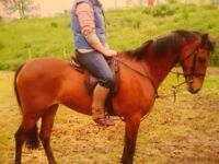 13.2 British Riding Pony