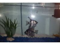 2 Angel Fishes for sale