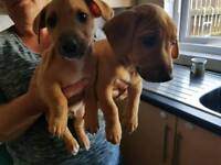 2 tan boy's pure jack Russell pups