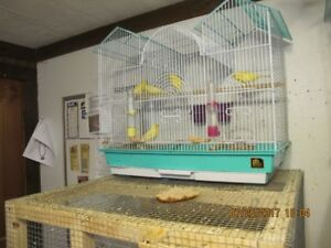 yellow baby canary's for sale---DEAL  2017