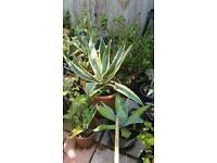 Variegated Agave plant