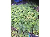 Strawberry plants for sale from allotment. Dig and take as many as you want.