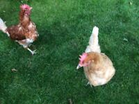 2 x Chickens / Hens, Freindly and Good Layers