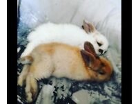 2 pure bred girl bunnys