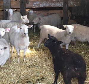 Sheep flock : Downsizing to mini breed