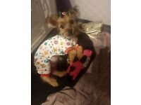 Gorgeous female 14 week old Yorkshire terrier mini
