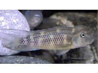 Block head fish
