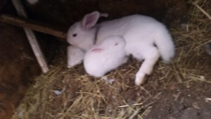 LOTS OF BUNNIES. NEED GONE OR GOING TO THE MARKET