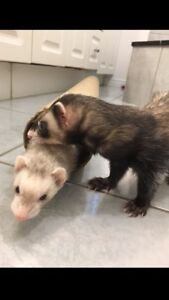 Ferrets and Hedgehog!! With XL Cages