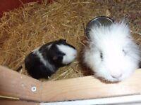 2 Guinea pigs free