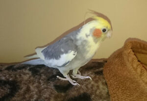 Free Cockatiel, probably girl. not tame, First come first served